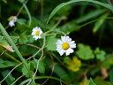 【1年間枯れ保証】【水生植物】リュウノウギク 10.5cmポット 【あす楽対応】
