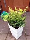 珍しい!海外から来たレモンライムのナンテン オシャレで大きめ6号鉢 鉢植え 化粧鉢 庭木 植木 常緑樹 常緑低木【送料無料】