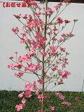 大型轮式种粉红APPURUBUROSSAMU [山茱萸]树高二点○米(不包括碗根)[【花芽いっぱい】【翌日発送可】アップルブロッサム [ハナミズキ]樹高2.0m(根鉢含まず)]