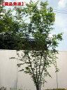 【現品発送】イロハモミジ株立 樹高1.9m-2.3m(根鉢含まず)【大型商品・配達日時指定不可】