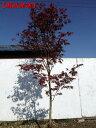 【現品発送】ノムラモミジ樹高2.2-2.6m(根鉢含まず)【大型商品・配達日時指定不可】