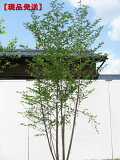 白花!ボリューム樹形!【現品発送】エゴノキ 株立樹高2.0-2.2m(根鉢含まず)
