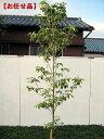 クラウドナイン [ハナミズキ]樹高2.0m(根鉢含まず)【大型商品・配達日時指定不可】