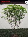 アカヤシオ(ヤシオツツジ)樹高1.5m(根鉢含まず)【大型商品・配達日時指定不可】
