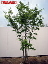 【現品発送】アオダモ(コバノトネリコ) 株立樹高2.1-3.0m(根鉢含まず)
