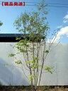 RoomClip商品情報 - 【現品発送】アオダモ 株立樹高2.2-2.7m(根鉢含まず)【大型商品・配達日時指定不可】