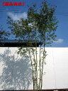 【現品発送】イロハモミジ株立 樹高2.5-2.7m(根鉢含まず)【大型商品・配達日時指定不可】