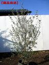【現品発送】オリーブ(フラントイオ)樹高2.2-2.4m(根鉢含まず)