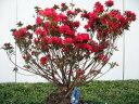 特大!!久留米ツツジ(クルメツツジ)筑紫紅(チクシベニ)樹高1.0m(根鉢含まず)