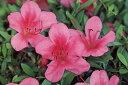 サツキツツジ大盃(オオサカズキ)ピンク花一重約0.3m(根鉢含む)