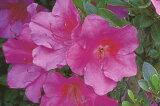 サツキツツジムラサキボタン紫花一重約0.3m(根鉢含む)