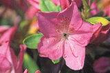 ヒラドツツジ(平戸ツツジ)紅石楠花(ベニシャクナゲ) シャクナゲツツジ薄紫一重約0.3m根鉢含む)