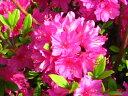 クルメツツジ(久留米ツツジ)胡蝶の舞(コチョウノマイ)紫花約0.3m(根鉢含む)
