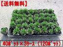 【送料無料】ヒメリュウ(姫竜)ポット 120ポット(40ポット×3ケース)