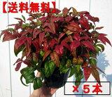 【】オタフクナンテン(お多福南天)5本セット