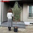 【現品発送】10号鉢 特大オリーブの木樹高1.7-2.2m(根鉢含まず)シンボルツリー 庭木 植木 常緑樹 常緑高木 鉢植え