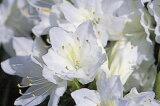 クルメツツジ(久留米ツツジ)暮の雪(クレノユキ)白花八重約0.3m(根鉢含む)