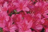杜鹃填塞! kurumetsutsuji(久留米杜鹃)摩那妇女(manafujin)紫花单层约0.3m(根盆含有)[クルメツツジ(久留米ツツジ)摩那婦人(マヤフジン)紫花一重約0.3m(根鉢含む)]