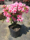 クルメツツジ(久留米ツツジ)麒麟(キリン)ピンク花一重約0.3m(根鉢含む)