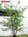 【現品発送】ナンジャモンジャ(ヒトツバタゴ) 株立樹高1.9-2.6m(根鉢含まず)