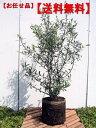 常緑の素敵な葉!【送料無料】オリーブ(ミッション)樹高1m6号鉢(18cm鉢)