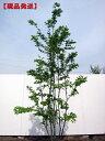 【現品発送】アオハダ(メス木)樹高2.0-2.3m(根鉢含まず)【大型商品・配達日時指定不可】