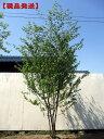【現品発送】アカシデ(アカメソロ)株立 樹高2.5-2.6m(根鉢含まず)【大型商品・配達日時指定不可】