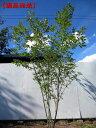 【現品発送】コナラ 株立樹高2.3-2.5m(根鉢含まず)【大型商品・配達日時指定不可】