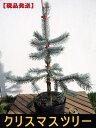 【現品発送】もみの木の王様プンゲンストウヒ ホプシー(つぎ木苗)樹高60cm(根鉢含まず)クリスマスツリー
