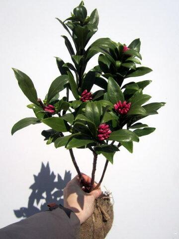 【送料無料】沈丁花(ジンチョウゲ) 赤 30cm前後(根鉢含む)