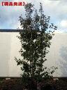 【現品発送】ソヨゴ[メス株] 株立 樹高2.4-2.6m(根鉢含まず)【大型商品・配達日時指定不可】