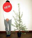 NEW! オリーブ 7号サイズ (品種 ミッション) オリーブの木 鉢植えオリーブ