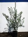 【送料無料】 オリーブ 1.2m(根鉢含まず) 7号サイズ (品種 ミッション) オリーブの木 鉢植えオリーブ