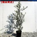 【現品発送】オリーブの木(ミッション) 樹高1.3-1.7m(根鉢含まず)8号ビニルポット