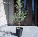 【送料無料】【選べる品種】オリーブの木鉢植え特大7号ポット(21cmポット) 90cm前後(ポット含む)【翌日発送可】【母の日】【ははのひ】【ギフト】【記念樹】【新築祝い】