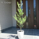 【選べる7品種】化粧鉢 オリーブの木特大7号ポット(21cmポット) 0.8m前後(根鉢含まず)【翌日発送可】【母の日】【ははのひ】【ギフト】【記念樹】【新築祝い】