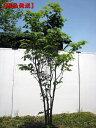 【現品発送】コハウチワカエデ株立 樹高1.8-2.5m(根鉢含まず)【大型商品・配達日時指定不可】