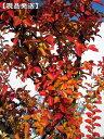 【現品発送】サルスベリ(百日紅)ナチェ(白花)樹高2.2-2.6m(根鉢含まず)