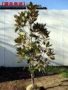 【送料無料】【現品発送】タイサンボク(リトルジェム)樹高1.1-1.4m(根鉢含まず)