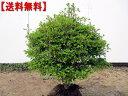 【送料無料】玉ドウダンツツジ(白花)樹高0.5m幅0.5m前後(根鉢含まず)