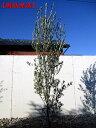 【スーパーSALE 10%OFF】【現品発送】オリーブ(ミッション)樹高2.1−2.5m(根鉢含まず) シンボルツリー 庭木 植木 常緑樹 常緑高木