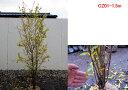 【現品発送】カリフォルニアザクロ 大実のザクロ1.3m-1.5m 果樹苗 シンボルツリー 庭木 植木 落葉樹 落葉高木 紅葉【送料無料】