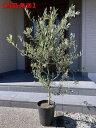 【現品発送】オリーブの木(ルッカ) 8号樹高1.4-1.6m(鉢底から) シンボルツリー 庭木 植木 常緑樹 常緑高木【送料無料】