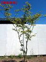 【現品発送】ナツハゼ樹高1.7-2.2m(根鉢含まず)【大型商品・配達日時指定不可】