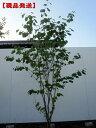 【現品発送】マルバノキ樹高1.5m(根鉢含まず)【大型商品・配達日時指定不可】