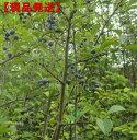 【現品発送】サワフタギ樹高2.0-2.6m(根鉢含まず)【大型商品・配達日時指定不可】