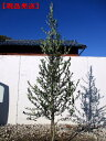 【現品発送】オリーブの木(アルベキナ)樹高2.1m-2.7m(根鉢含まず) シンボルツリー 庭木 植木 常緑樹 常緑高木