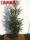 【送料無料】2本セット!!新芽が金色に輝くキンメツゲ 樹高1.5m(根鉢含まず)