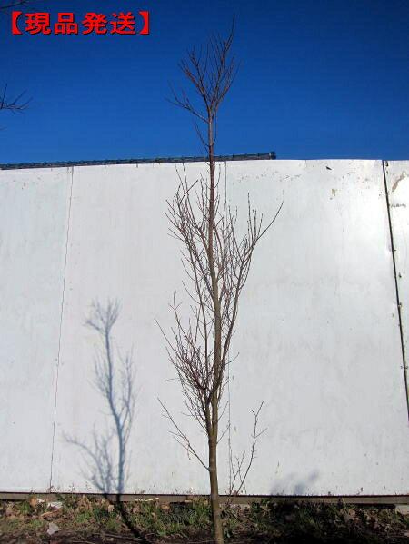 【現品発送】モミジ 胡蝶の舞(コチョウノマイ)樹...の商品画像