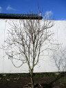 【現品発送】アカヤシオ(ヤシオツツジ)樹高1.9m(根鉢含まず)幅1.1m【大型商品・配達日時指定不